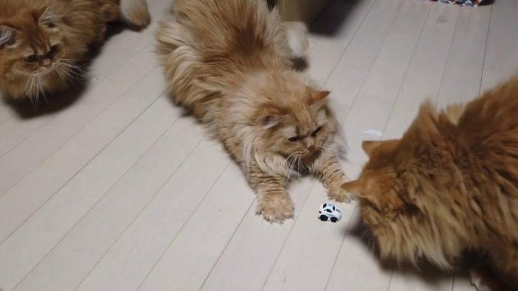 【ねこ実験】猫はラジコンにどんな反応をするのか? A radio controlled car VS cats 【マンチカンズ 】