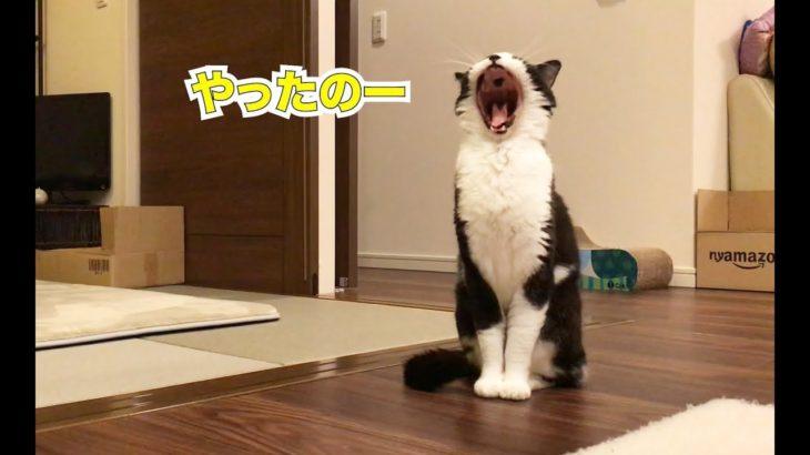 声を出して大あくびする猫がかわいい!十勝豚丼は味見なし