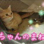 すごく可愛い短足マンチカンの子猫茶々と先住猫アイちゃんの未公開短編集!!【日刊ねこもふ生活】
