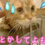 ドライヤーしたら短足マンチカンの子猫茶々の鳴き声が凄かった!!【日刊ねこもふ生活】