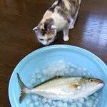 大きなお魚にビックリな猫 Cat amazed at the big fish