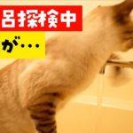 お風呂のお湯張りを監視する猫にハプニングが起きました…