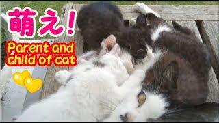 野良猫と家猫 母猫に甘える姿に萌える!・・・うちの猫ちゃんたちカワイイTV