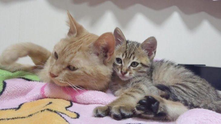 母猫にまんまと騙されたキジトラ子猫がドジっ子かわいい  整備中の車から保護された小さな子猫その6