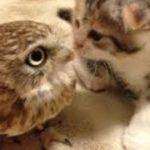 【面白 フクロウ】おもしろフクロウ動画まとめ!#2【かわいい】