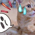 フレーメン反応した後、何事もなかったかのように遊ぶマンチカンの子猫茶々が可愛いwww Funny kitten expression!! By flamen reaction!【日刊ねこもふ生活】