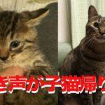 ジクーネコチャン、鳴き声が子猫帰りする My brown tabby's meow became like a kitten