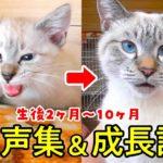 生後2ヶ月の子猫が大きくなるまでの鳴き声集&成長記録【生後2ヶ月〜10ヶ月の鳴き声の変化】