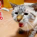 ニャーニャー鳴いて不満を訴える猫が満足してくれるまで尽くした結果…
