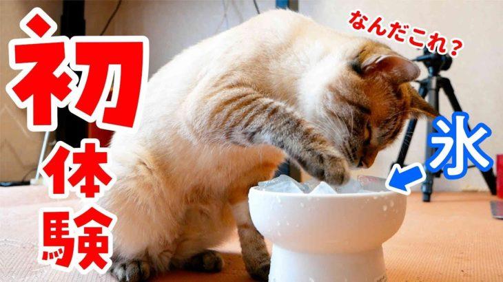 初めての氷で猫はどんな反応をするのか?
