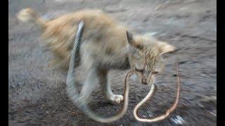 蛇に噛まれながら果敢に立ち向かう橙猫【ドキュメントノネコ】蛇を食べる