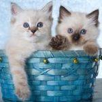 【人気のねこ】大人気ラグドール集合✰超カワイイ癒しの猫