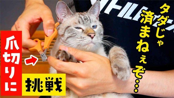 暴れ猫の爪を切ってみた結果…