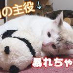 長男猫が子猫とハッスルするものの…