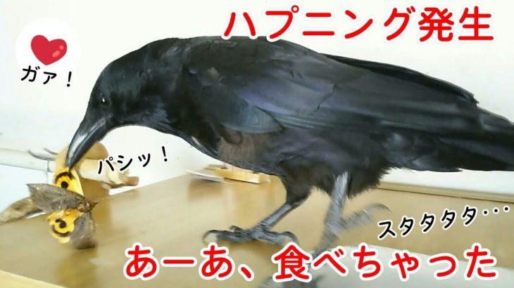 【ハプニング】部屋に迷い込んだ巨大な蛾をカラスが食べちゃいました・・・。 猫に煮干し&パーティ姐御&雑食犬w 20190909、カラス&四つ足トリオ