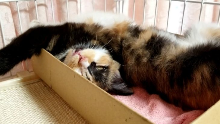 子猫の寝顔がやばすぎる。寝方がすごいです。The sleeping face of the kitten is too amazing