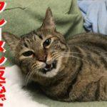 匂い職人猫、顔芸のフレーメン反応を披露する My cat's  Flehmen response