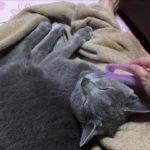 ブラッシングでゴロゴロな猫がカワイイ(ロシアンブルー)