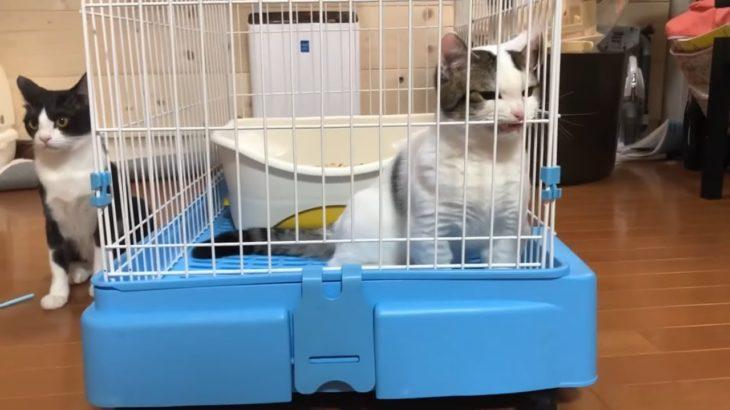 「出せ!」の鳴き声が切ない猫と心配する母猫に癒される